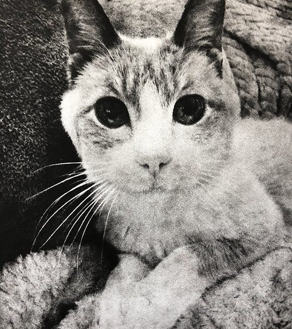 A Special Cat Memorial Portrait for Spice | California