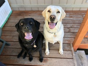 Phone Photo used for custom dog portrait two lab dogs