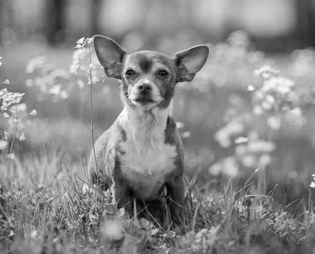 Cute Chihuahua Photo outdoors in the flowers