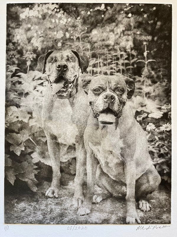 Dog Portraits 2 Boxer dogs photo etching of blind dog and seeing eye dog Boxer