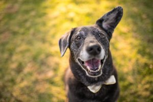 Pet Insurance for my dog Willow cute lab shepherd