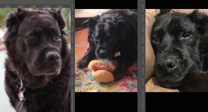 Photos-for-custom-dog-portraits black dog
